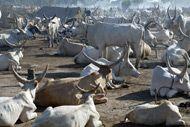 องค์การอาหารและการเกษตรแห่งสหประชาชาติ – ปศุสัตว์ที่สำคัญ …