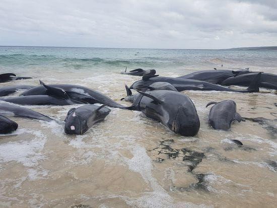 ปลาวาฬเกือบ 150 ปลาวาฬที่ตายแล้วหลังจากตายไปในออสเตรเลีย
